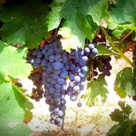 Red grapes in Penedes