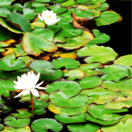 Water lillies at the Botanical Garden of Barcelona