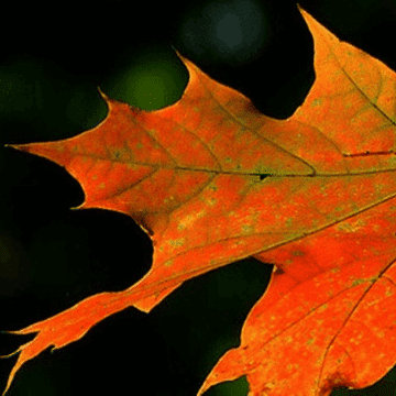 Sycamore leave in Autumn in Spain