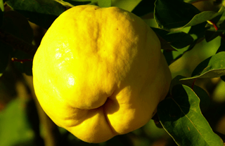 Spanish winter fruits: Quince