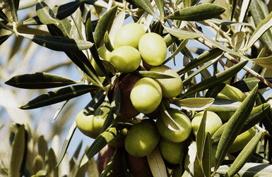 Spanish olive oil from the best olives