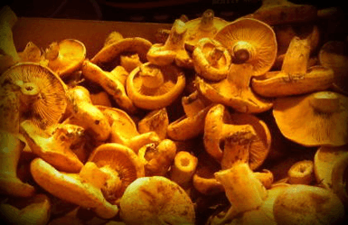 Spanish mushrooms: rovellons