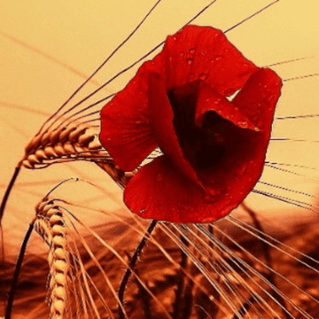 Red poppy and wheat - a traditional Catalan landscape