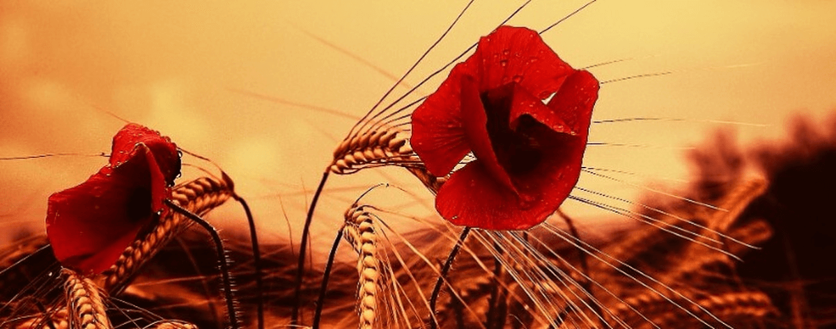 Red poppies and wheat - a traditional catalan landscape