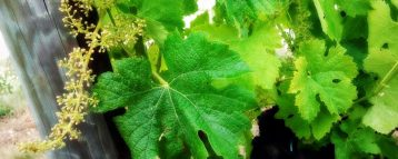 Young vines in spring - Penedes wine country
